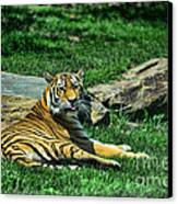 Tiger - Endangered - Lying Down - Tongue Out Canvas Print by Paul Ward
