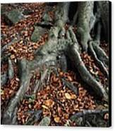 Tree Roots Of A Beech Tree Canvas Print by Adrian Bicker