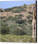Two Giraffes Looking Into The Distance Canvas Print by Heinrich van den Berg