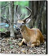 Velvet Buck At Rest  Canvas Print by Paul Ward