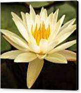 Water Lily Canvas Print by Darren Fisher