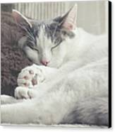 White And Grey Cat Taking Nap On Couch Canvas Print by Cindy Prins