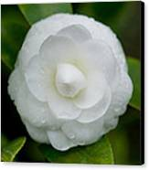 White Camellia Canvas Print by Rich Franco