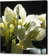 White Canna Lily Canvas Print by Alfred Ng