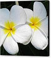 White Plumerias Canvas Print by Shane Kelly