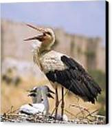 White Stork Ciconia Ciconia, Turkey Canvas Print by Carson Ganci