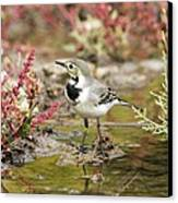White Wagtail Canvas Print by Photostock-israel