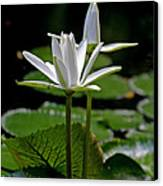 White Water Lily Canvas Print by Lisa  Spencer