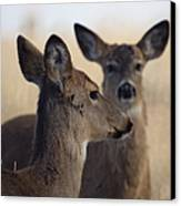 Whitetail Deer Canvas Print by Ernie Echols