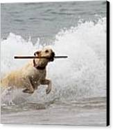 Yellow Lab Ocean Fetch Canvas Print by Renae Laughner