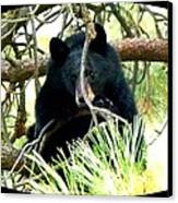 Young Black Bear Canvas Print by Will Borden