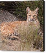 Bobcat At Rest Canvas Print by Alan Toepfer