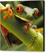 A Red-eyed Tree Frog Agalychnis Canvas Print by Steve Winter