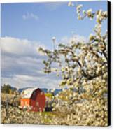 Apple Blossom Trees And A Red Barn In Canvas Print by Craig Tuttle