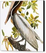 Audubon: Pelican Canvas Print by Granger