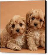 Cavapoo Pups Canvas Print by Mark Taylor