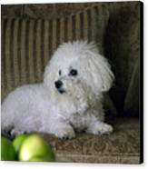 Fifi The Bichon Frise  Canvas Print by Michael Ledray