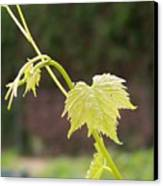 Grapevine Canvas Print by Heather L Wright