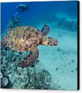 Green Sea Turtles  Canvas Print by Dave Fleetham - Printscapes