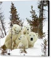Polar Bear Ursus Maritimus Trio Canvas Print by Matthias Breiter
