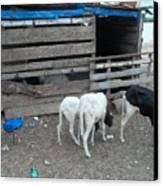 Reality Bites Goats Canvas Print by Fania Simon