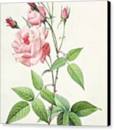 Rosa Indica Vulgaris Canvas Print by Pierre Joseph Redoute