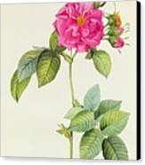 Rosa Turbinata Canvas Print by Pierre Joseph Redoute