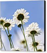 White Daisies Canvas Print by Elena Elisseeva