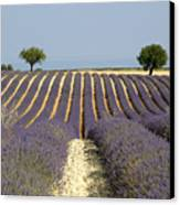Field Of Lavender. Provence Canvas Print by Bernard Jaubert