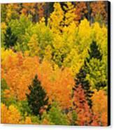 Quaking Aspen And Ponderosa Pine Trees Canvas Print by Ralph Lee Hopkins