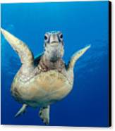 Green Sea Turtle Canvas Print by Dave Fleetham - Printscapes