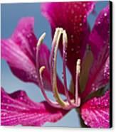 Bauhinia Purpurea - Hawaiian Orchid Tree Canvas Print by Sharon Mau