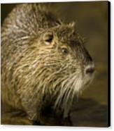 A Beaver From The Omaha Zoo Canvas Print by Joel Sartore