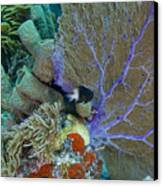 A Bi-color Damselfish Amongst The Coral Canvas Print by Terry Moore