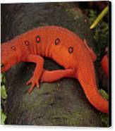 A Red Eft Crawls On The Forest Floor Canvas Print by George Grall