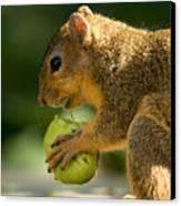A Red Fox Squirrel Chews On A Walnut Canvas Print by Joel Sartore