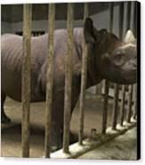 A Rhino At The Sedgwick County Zoo Canvas Print by Joel Sartore