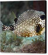 A Spotted Trunkfish, Key Largo, Florida Canvas Print by Terry Moore