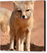 Adult Kit Fox Ears And All Canvas Print by Max Allen