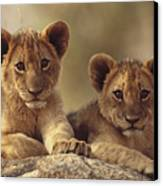 African Lion Cubs Resting On A Rock Canvas Print by Tim Fitzharris