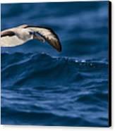 Albatross Of The Deep Blue Canvas Print by Basie Van Zyl