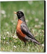 American Robin Canvas Print by Wingsdomain Art and Photography