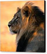 An Adult Male African Lion, Panthera Canvas Print by Nicole Duplaix