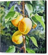 Apricots In The Garden Canvas Print by Irina Sztukowski