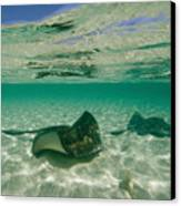 Aquatic Split-level View Of Two Canvas Print by Wolcott Henry