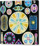Art Of Diatom Algae (from Ernst Haeckel) Canvas Print by Mehau Kulyk
