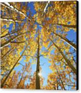 Aspen Tree Canopy 2 Canvas Print by Ron Dahlquist - Printscapes