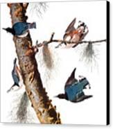 Audubon: Nuthatch Canvas Print by Granger