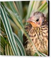Baby Bird Peering Out Canvas Print by Douglas Barnett