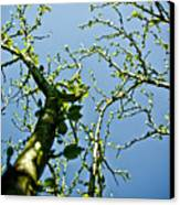 Baby Spring Tree Leaves 02 Canvas Print by Ryan Kelly
